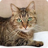 Adopt A Pet :: Purresha - STRAY - Midland, MI