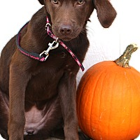 Labrador Retriever Mix Puppy for adoption in Glastonbury, Connecticut - Coco Buns~adopted!!