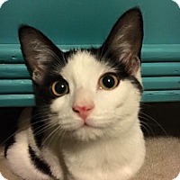 Domestic Shorthair Cat for adoption in Burlington, North Carolina - Cash