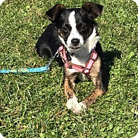 Adopt A Pet :: Taffy Girl - New Oxford, PA