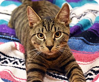 Domestic Shorthair Cat for adoption in Bristol, Connecticut - Sheldon