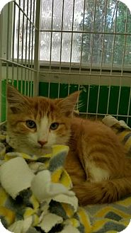 Domestic Mediumhair Kitten for adoption in Bloomingdale, New Jersey - Pumpkin
