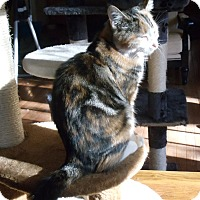Calico Cat for adoption in Evans, West Virginia - Annabelle (Anna)