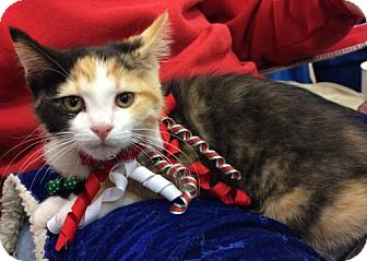 Calico Kitten for adoption in Wilmore, Kentucky - Jennifer