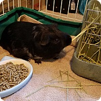 Adopt A Pet :: Cocoa - Jeannette, PA