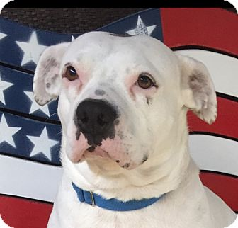 Pit Bull Terrier/Boxer Mix Dog for adoption in Houston, Texas - Bella