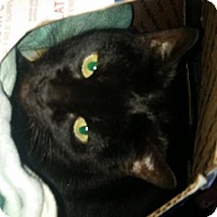 Adopt A Pet :: SAHARA - DECLAWED DARLING - Rochester, NY