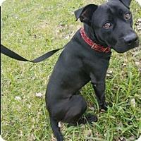 Adopt A Pet :: Thomas - Houston, TX