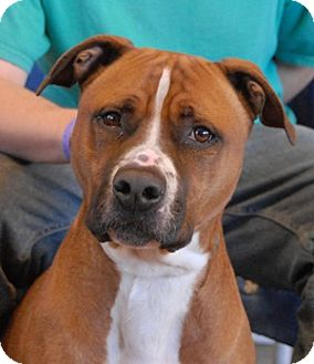 Boxer/Pit Bull Terrier Mix Dog for adoption in Las Vegas, Nevada ...