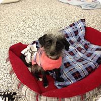 Adopt A Pet :: FiFi - Washington, PA