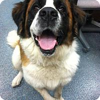 Adopt A Pet :: Lola Holly - Broomfield, CO
