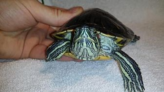Turtle - Other for adoption in Markham, Ontario - Squirt