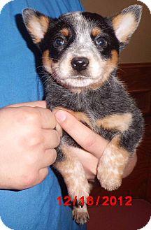 Australian Cattle Dog Puppy for adoption in Lavon, Texas - Frankie's Puppies