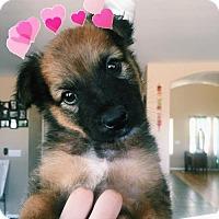 Adopt A Pet :: Chunky Monkey Bear - Glendale, AZ