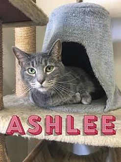 Domestic Shorthair Cat for adoption in Queenstown, Maryland - Ashlee
