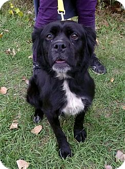 Border Collie/Shepherd (Unknown Type) Mix Dog for adoption in Detroit, Michigan - Miracle
