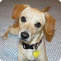 Dachshund/Terrier (Unknown Type, Small) Mix Puppy for adoption in Los Angeles, California - Chance - I love to play!