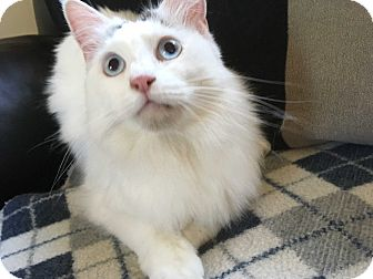 Snowshoe Cat for adoption in Tracy, California - Sabrina
