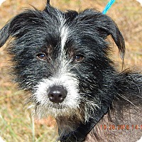 Chinese Crested/Terrier (Unknown Type, Small) Mix Dog for adoption in Niagara Falls, New York - Bo (21 lb) Perfect Family Pet!