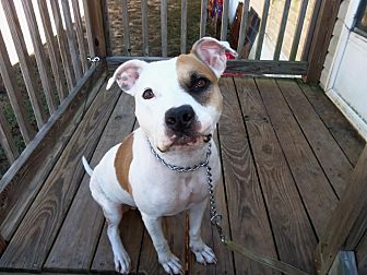 Pit Bull Terrier Mix Dog for adoption in Manchester, New Hampshire - Dawn