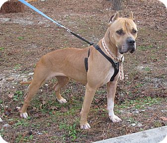 Boxer Mix Dog for adoption in Burgaw, North Carolina - Blake