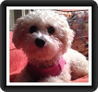 Bichon Frise Dog for adoption in Tulsa, Oklahoma - Adopted!!Angel - KY