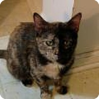 Domestic Shorthair Cat for adoption in Shelbyville, Kentucky - Puzzle