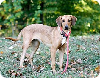 Labrador Retriever/Whippet Mix Dog for adoption in Salem, New Hampshire - MISS KAYE
