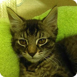Domestic Shorthair Kitten for adoption in Chula Vista, California - Thomas