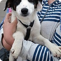 Adopt A Pet :: Scooter - Hopkinsville, KY