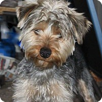 Yorkie, Yorkshire Terrier Mix Dog for adoption in Livonia, Michigan - Jitterbug-ADOPTION PENDING