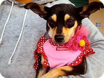 Chihuahua/Terrier (Unknown Type, Small) Mix Dog for adoption in San Diego, California - Ileana