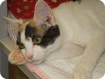 Domestic Shorthair Cat for adoption in Medina, Ohio - Helen