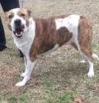 Pit Bull Terrier/Labrador Retriever Mix Dog for adoption in Summerville, South Carolina - Bella