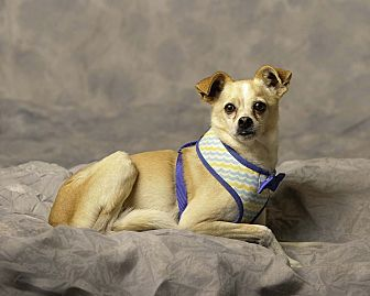 Whippet/Pug Mix Dog for adoption in Aqua Dulce, California - Leo