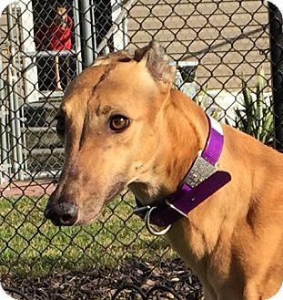 Greyhound Dog for adoption in Longwood, Florida - Pawsox Fox