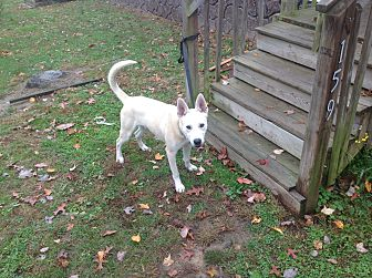 Husky Mix Dog for adoption in Triangle, Virginia - Abraham