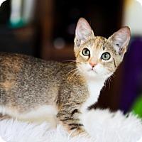 American Shorthair Kitten for adoption in Jacksonville, Florida - Rumer