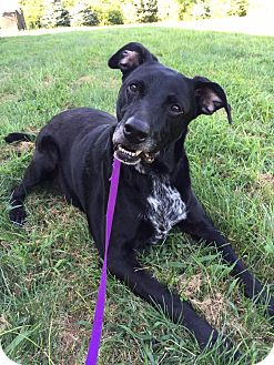 Labrador Retriever Mix Dog for adoption in Maryville, Missouri - Rogue