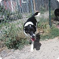 Adopt A Pet :: Bear - Ridgway, CO