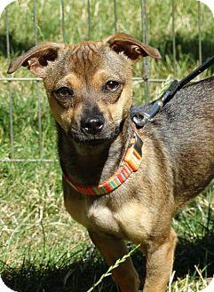 Chihuahua/Dachshund Mix Dog for adoption in Tacoma, Washington - Harlow