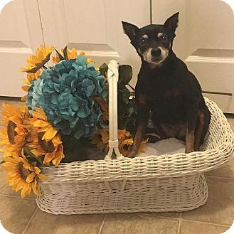 Miniature Pinscher Mix Dog for adoption in Springfield, Missouri - Gracie Min Pin