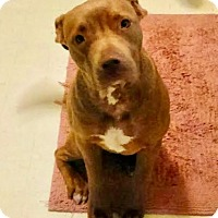 Pit Bull Terrier Dog for adoption in Orange, California - Honey