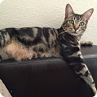 Domestic Shorthair Cat for adoption in Santa Ana, California - Jag