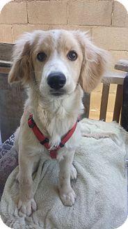Golden Retriever/Cocker Spaniel Mix Puppy for adoption in San Diego, California - Yuya