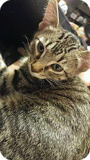 Domestic Shorthair Kitten for adoption in joliet, Illinois - Casper