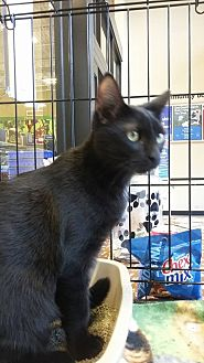 Domestic Shorthair Kitten for adoption in Riverview, Florida - Patsy