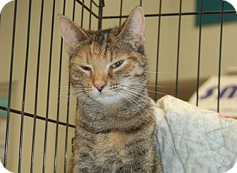 Domestic Shorthair Cat for adoption in Great Mills, Maryland - Chelsea