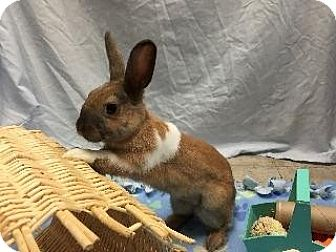 Cinnamon Mix for adoption in Woburn, Massachusetts - Butternut