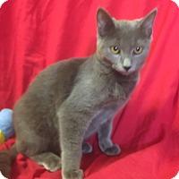 Russian Blue Kitten for adoption in pasadena, California - ELLIOT